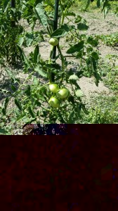 Potagers - Tomate